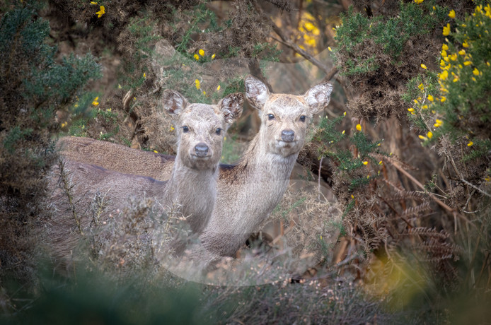 Pair of sika deer, Arne