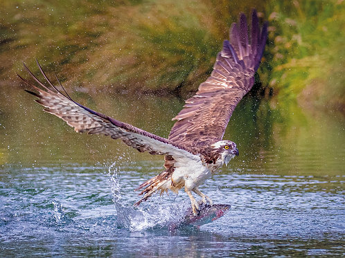 Osprey catches a trout