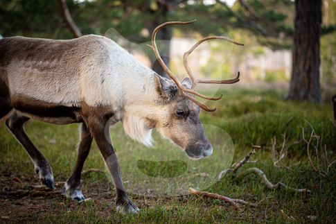 Reindeer, Cairngorm Mountain