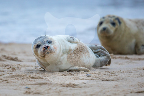 Grey seal pup with mother