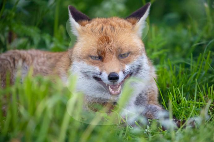 Panting fox