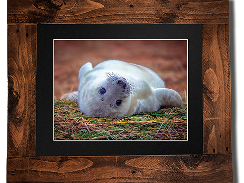Rolling Baby Seal - Framed artwork