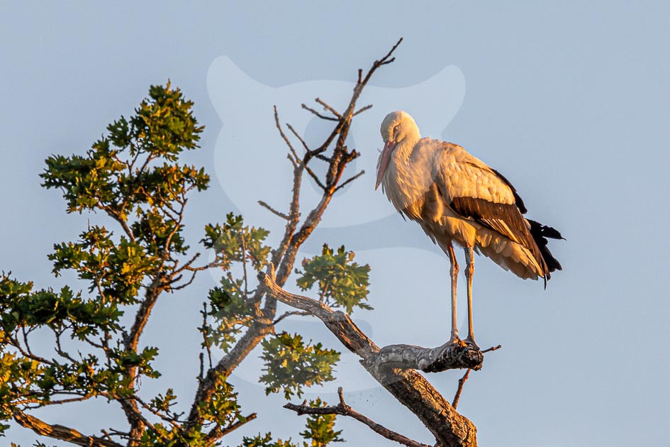 White Stork at sun-down