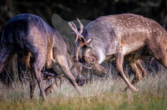 Fallow deer rutting