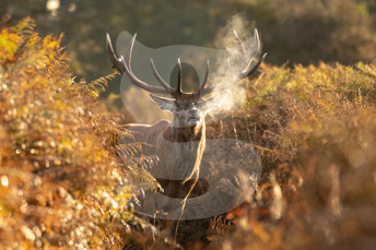 Morning red deer stag, Bushy Park