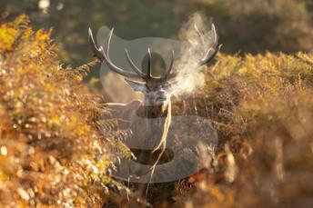 Morning red deer stag, Bushy Park