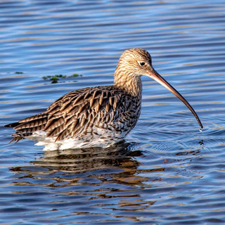 Curlew >>