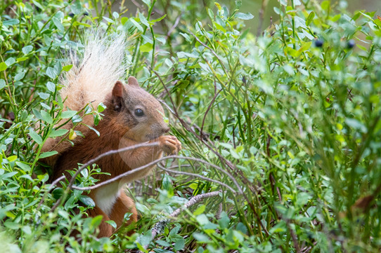 Red squirrel in undergrowth