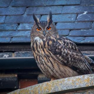 Eagle Owl >>