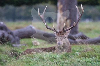 Relaxing red deer stag