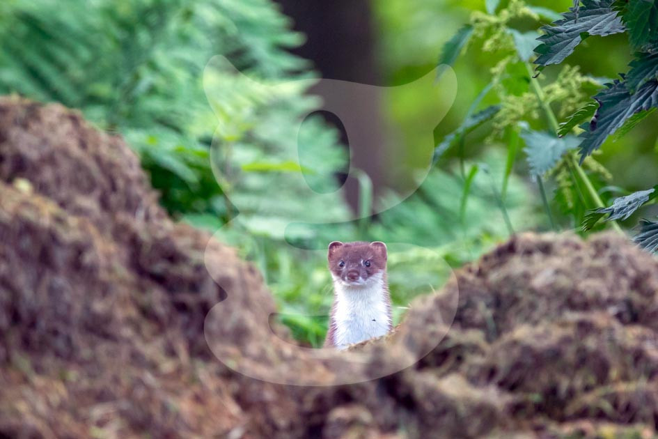 Stoat looking from afar