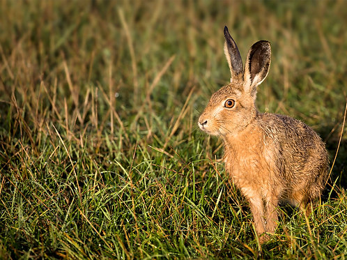 Hare in the Sun