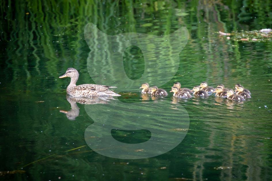 Mallard with chicks