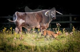 Muntjac creeping past a longhorn