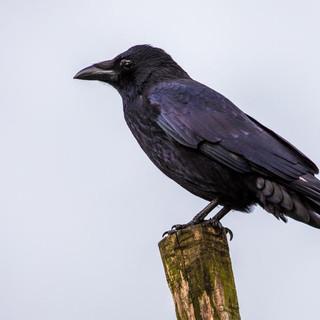 Carrion Crow >>