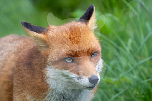Listening fox