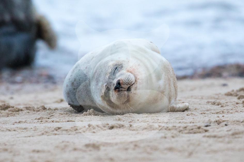 Grey seal pup sleeping