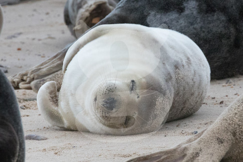 Sleeping grey seal