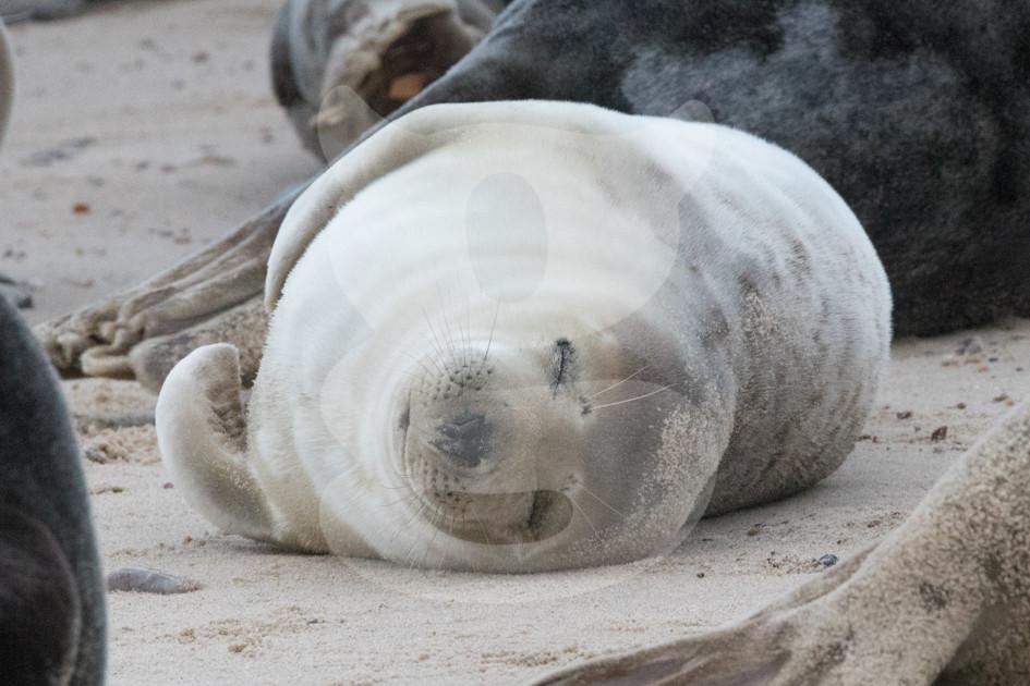 Sleeping grey seal