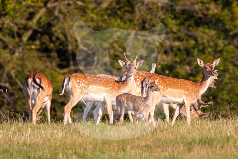 Fallow deer with calf