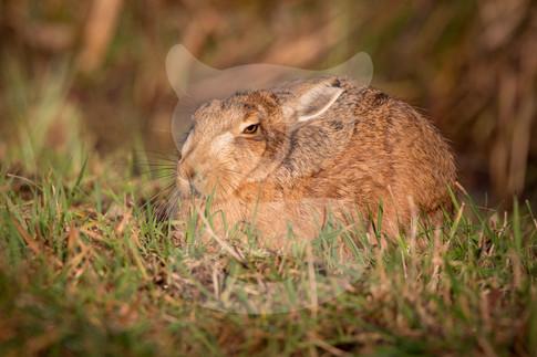 Sleepy brown hare