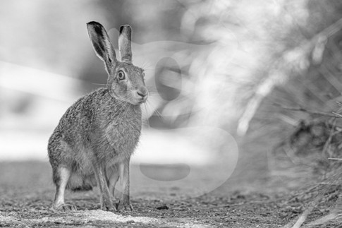 Black and white brown hare