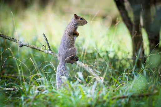 Grey squirrel standing on thin branch