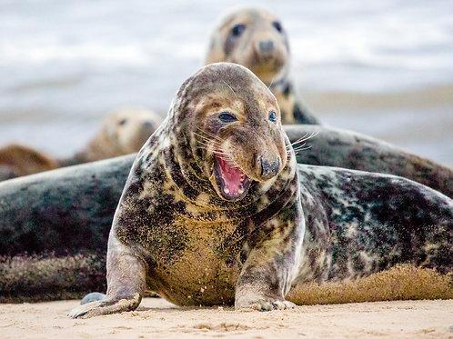 Snarling Seal