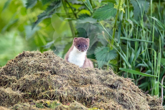 Stoat on top of grass clippings