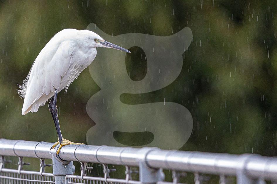 Little Egret in the rain