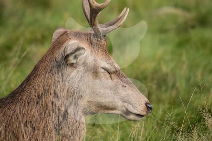 Sleepy red deer stag