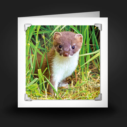 Young Stoat - Greetings Card