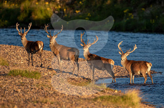 Red Deer stags, Scotland