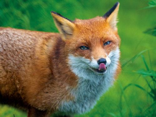 Licking Fox