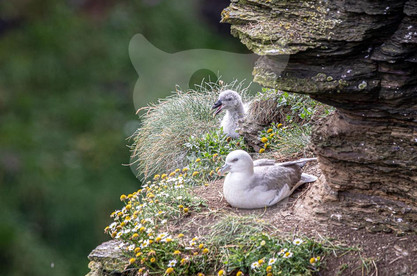 Fulmar parent with chick