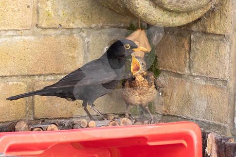 Blackbird feeding juvenile