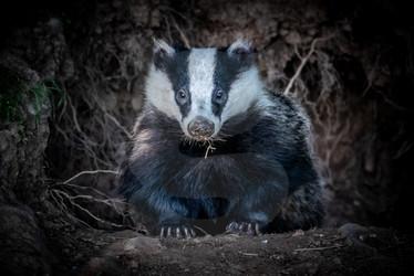 Badger emerging from sett