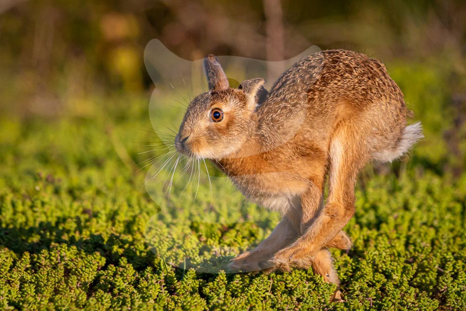Young Hare running