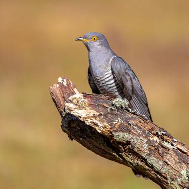 Cuckoo >>