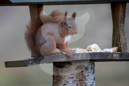 Red squirrel bird table