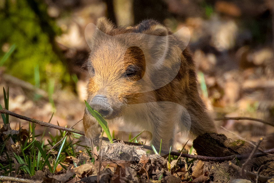 Wild boar humbug sniffing blad of grass