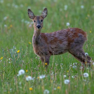 DEER - Roe Deer >>