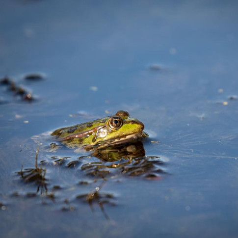 Pool Frog >>