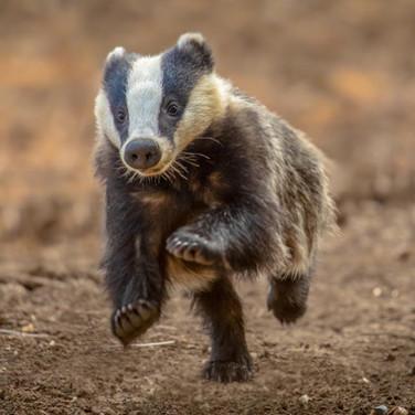 Badger >>