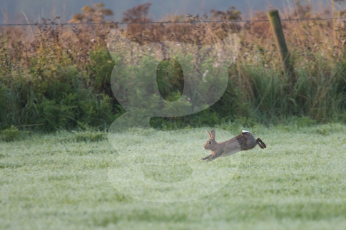 Bounding rabbit