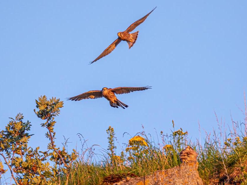 Kestrels in flight