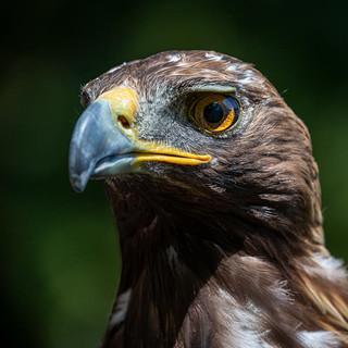 Golden Eagle >>