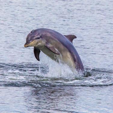 Bottlenose Dolphin >>