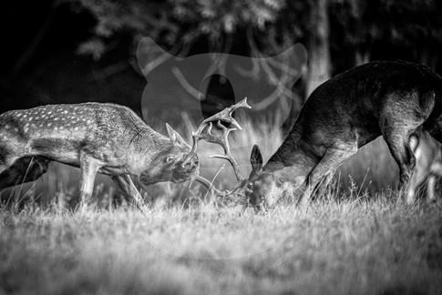 Rutting fallow deer black and white