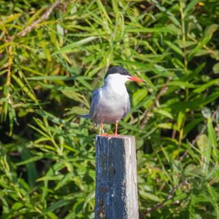 Common Tern >>
